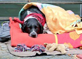 Hypothyroïdie canine