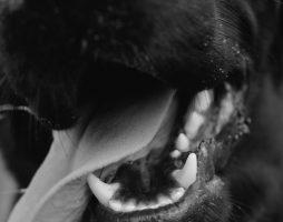 Maladie parodontale chez le chien et chat : conséquences systémiques