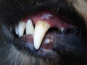Usage des antibiotiques en parodontologie vétérinaire