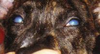 yeux chien - œdeme corneen