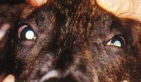 yeux chien soigne - œdeme corneen