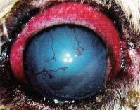 glaucome subaigu chien - œdeme corneen