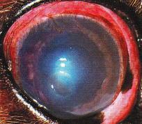 glaucome aigu chien - œdeme corneen
