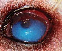 oeil ulcere corneen - œdeme corneen