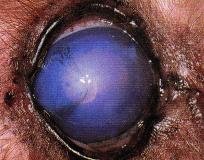 degenerescence oeil chien - œdeme corneen