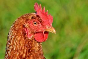 Ma poule a le nez qui coule
