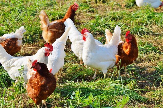 poules blanches et marrons nature - poule nez qui coule