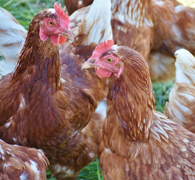 poules marrons - poule nez qui coule