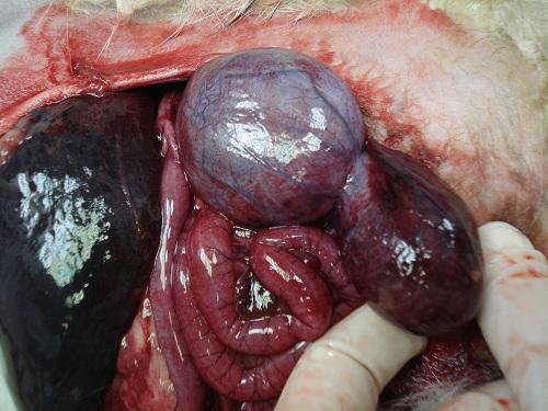 tumeur prostatique - systeme urinaire furet
