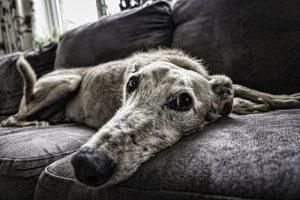 Faire descendre son chien du canapé