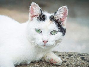 chat blanc - cardiomyoptahie restrictive