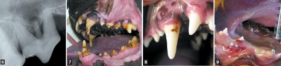 dentitions diverses - dentisterie jeunes chiens chats