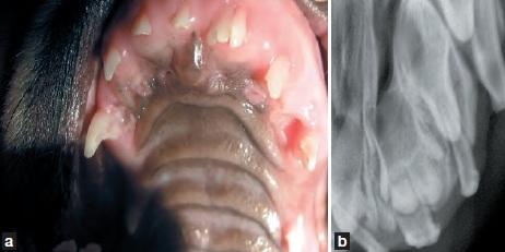 dentition fusion incisives - dentisterie jeunes chiens chats