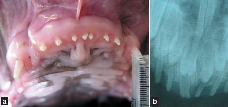 dentition jeune boxer - dentisterie jeunes chien chats