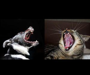Dentisterie des jeunes chats et chiens