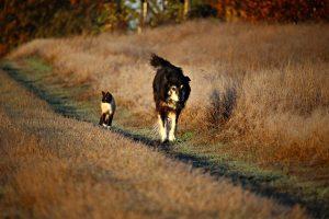 Hématurie chez le chien et le chat