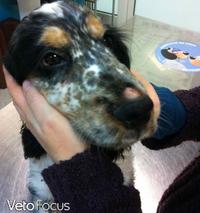 truffe boursouflee epagneul - aromatherapie dermatologie veterinaire