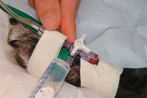 Intérêt de la mesure de la pression artérielle chez le chien et le chat