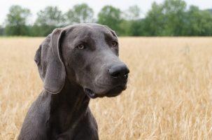 Pancréatite aigüe chez un chien