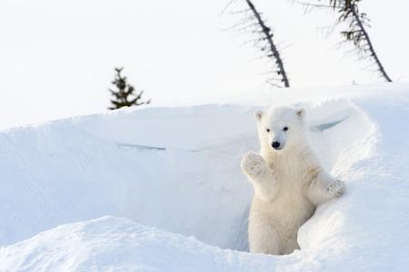 De quelle couleur est la peau de l'ours blanc ? Quizz de fin d'année