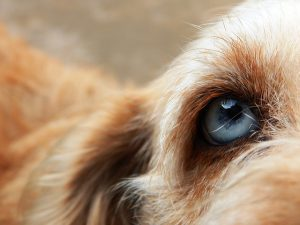 Nouvelle thérapeutique d'un ulcère cornéen chez le chien