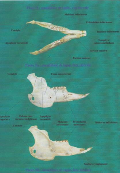 schema crane lapin - anatomie dentaire
