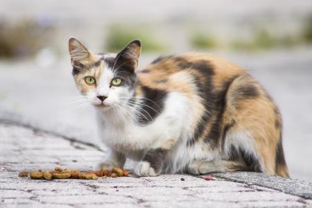 chat multicolore et selles - hyperthyroïdie