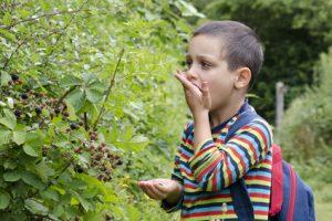 Un jeune garçon qui mange des myrtilles tout juste cueillies peut être contaminé par les vers du chien et du chat