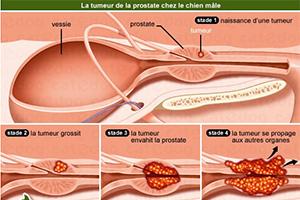 Read more about the article Les maladies de la prostate chez le chien