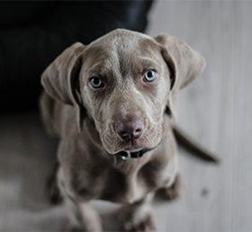 chien-maladies pulmonaires