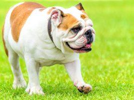 bulldog anglais - osteopathie cranio-mandibulaire